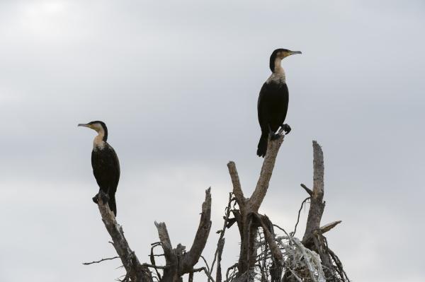 great cormorants phalocrocorax carbo lake naivasha