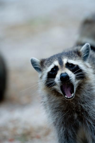 raccoon behavior