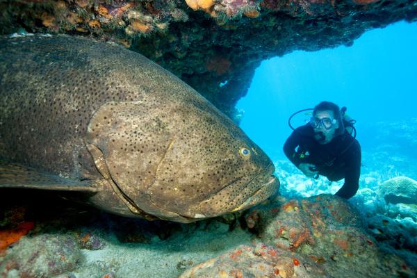 scuba diver with large grouper