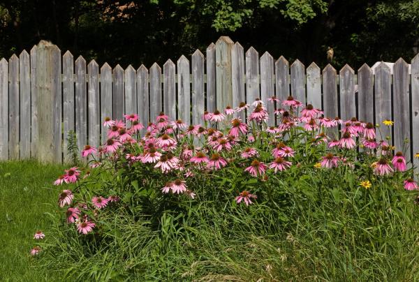 pink daisies in a garden