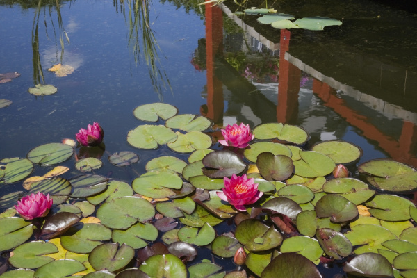pond with pink nymphaea and water