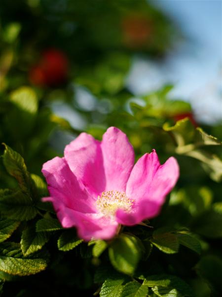 pink rosehip flower on garden bush