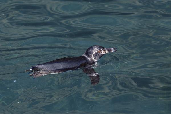 galapagos penguin sphensicus mendiculus isabela island