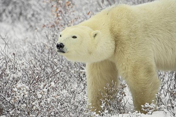 polar bear thalarctos maritimus standing among