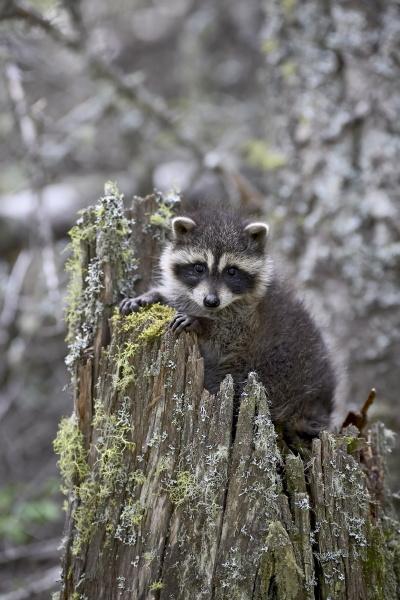 captive baby raccoon procyon lotor