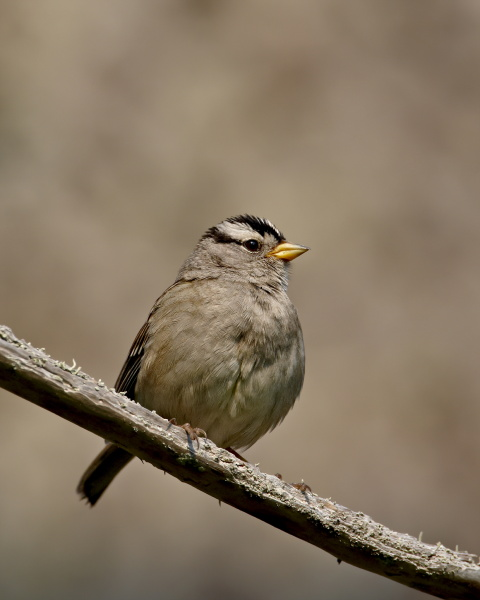 white crowned sparrow zonotrichia leucophrys sidney