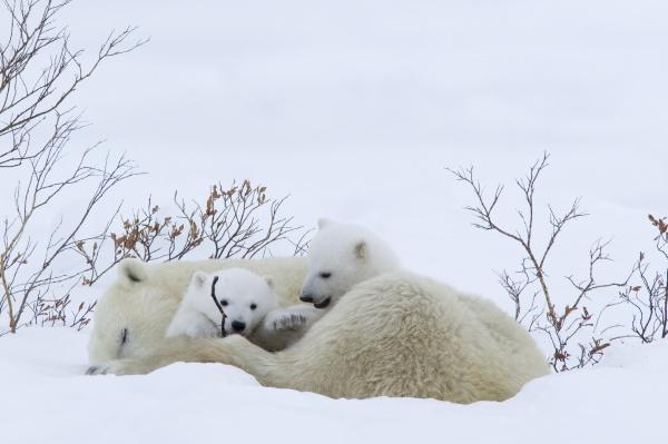 polar bear with cubs ursus maritimus