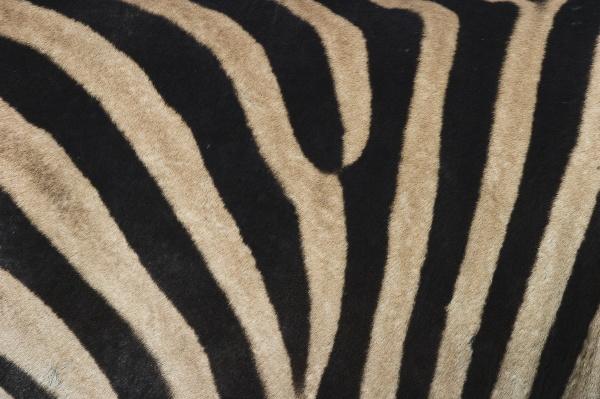 plains zebra burchells zebra equus burchellii