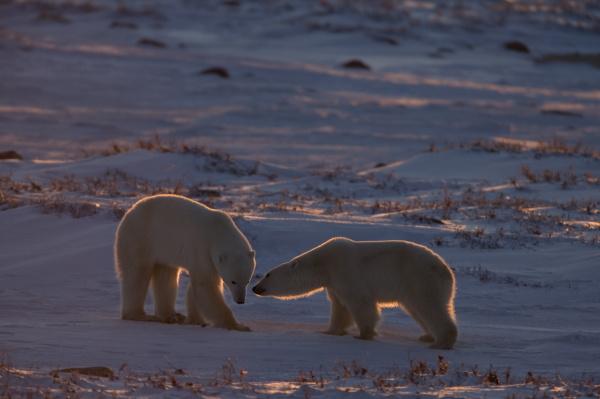 polar bear ursus maritimus hudson bay