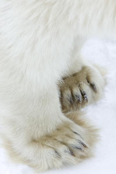 polar bear ursus maritimus churchill hudson