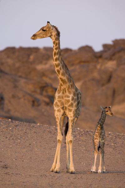 desert giraffe giraffa camelopardalis capensis with