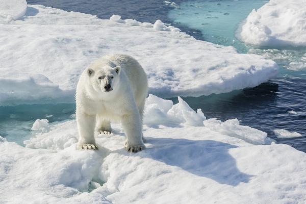 curious polar bear ursus maritimus cumberland