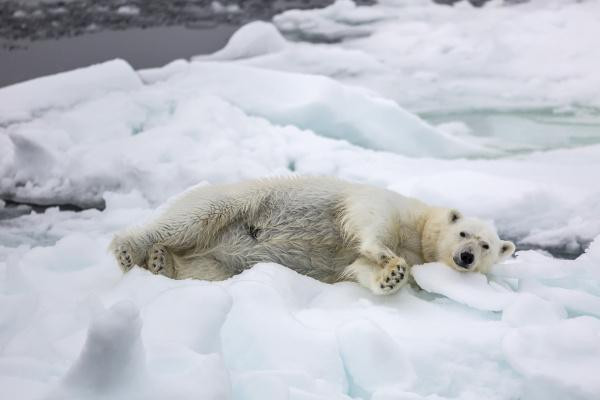 adult polar bear ursus maritimus stretching