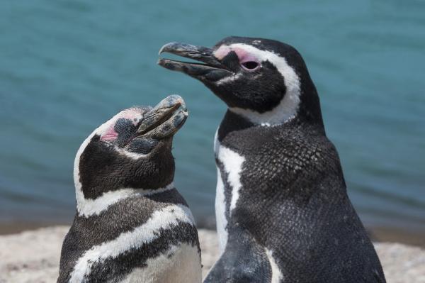 magellanic penguins spheniscus magellanicus peninsula valdez
