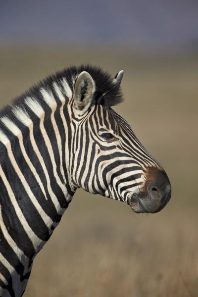 common zebra plains zebra burchells zebra
