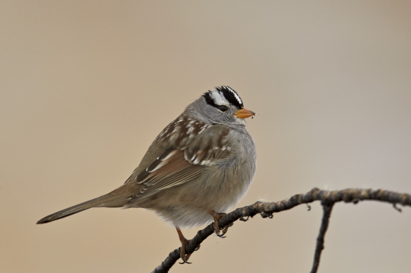 white crowned sparrow zonotrichia leucophrys bosque