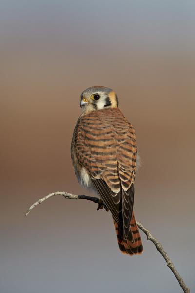 american kestrel sparrow hawk falco sparverius