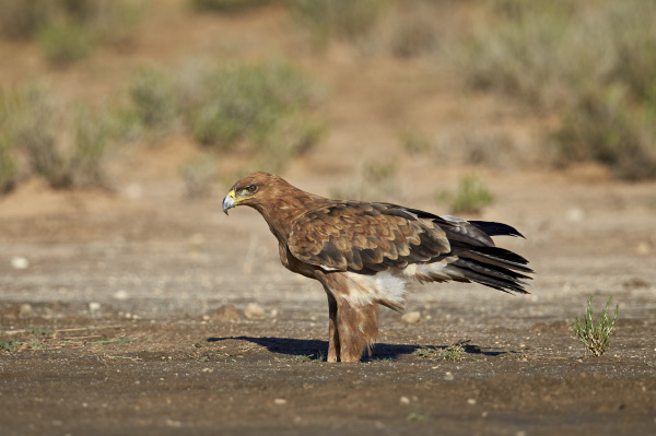 tawny eagle aquila rapax kgalagadi transfrontier