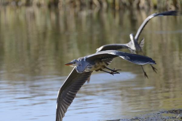 juvenile grey heron ardea cinerea in