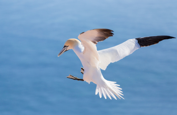 flying northern gannet helgoland germany