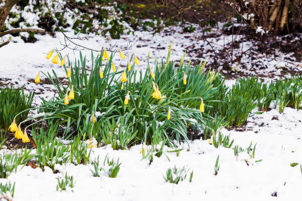 narcissus flowers in the snow