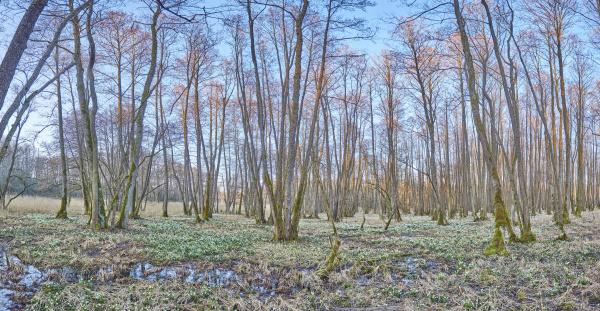 landscape with spring snowflakes leucojum