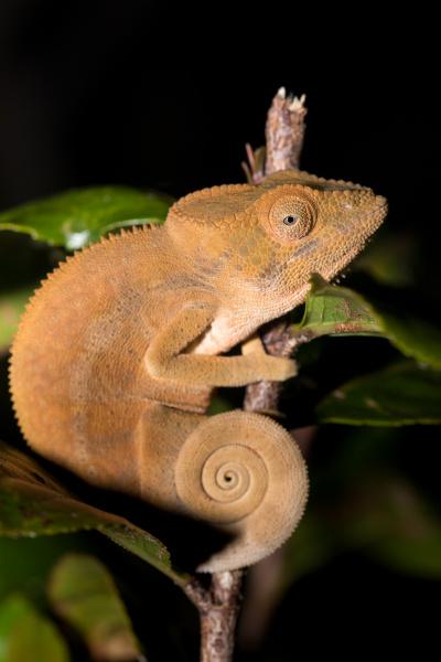 parson s chameleon calumma parsonii