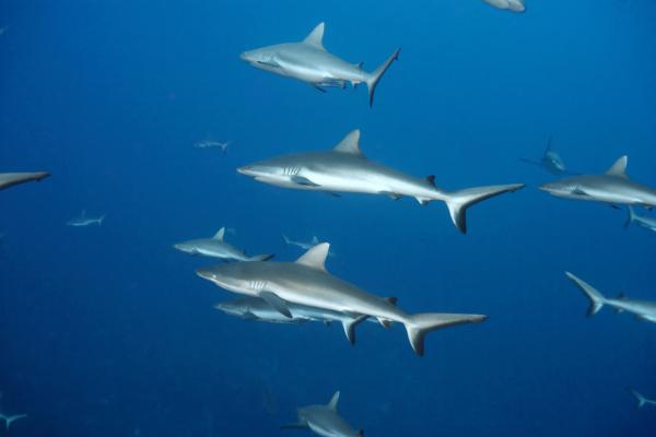 white tip reef shark swimming in