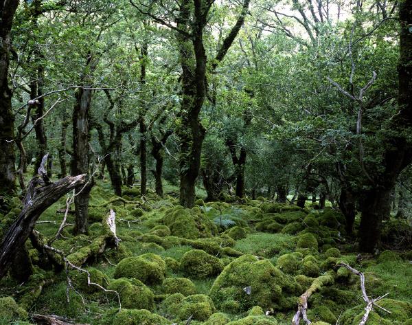 moss covered oak trees