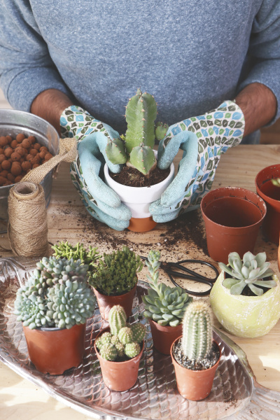 young man transplanting cactus on wooden