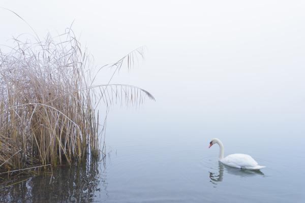 mute swan on lake in winter