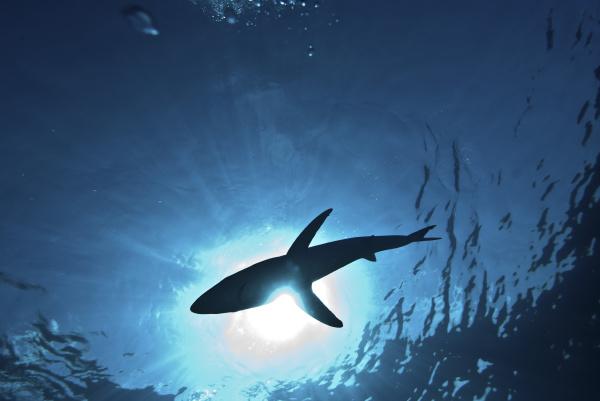 blue shark prionace glauca