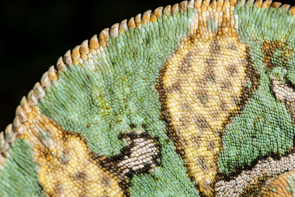 yemen chameleon chameleon calyptratus