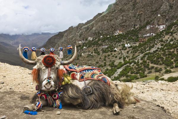 yak in drak yerpa tibet