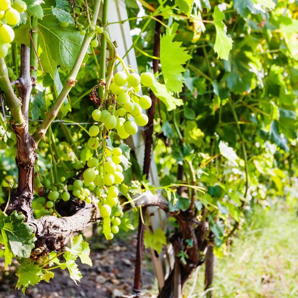 white grapes in wine region etna
