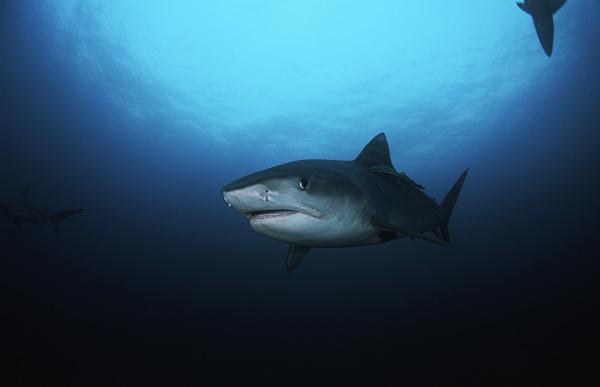 tiger shark galelcerdo cuvieri