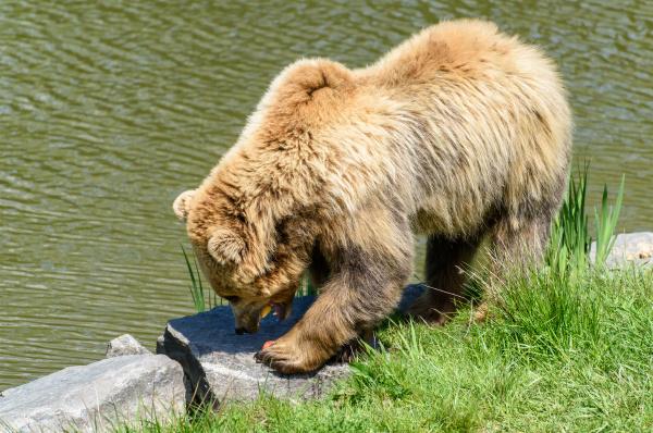 brown bear ursus arctos eating apples