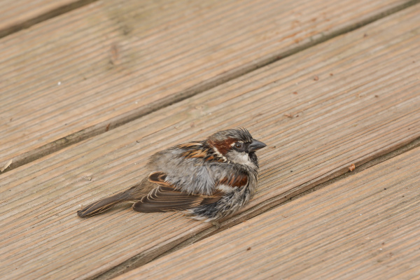 sparrows drying plumage