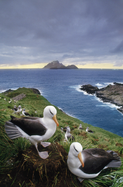 black browed albatross couple thalassarche