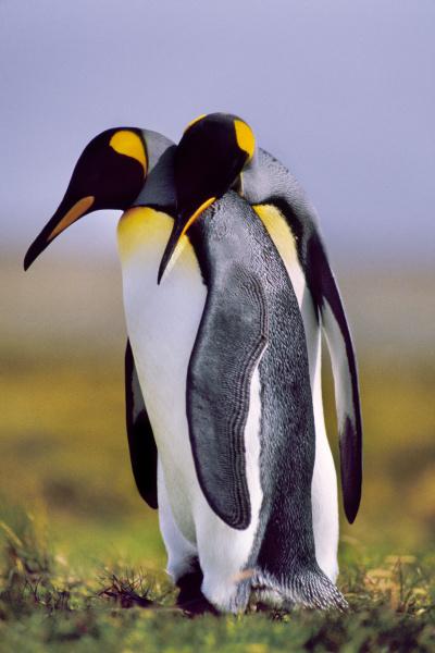 king penguins courting aptenodytes patagonicus