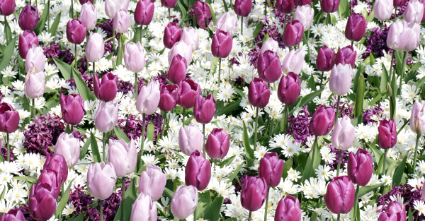 colorful pink and purple tulips in