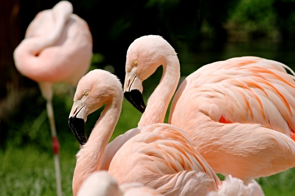 pink flamingos in a group