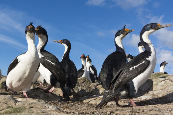 a colony of imperial shags leucocarbo