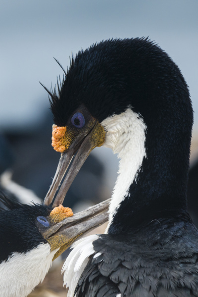 imperial shags leucocarbo atriceps in courtship