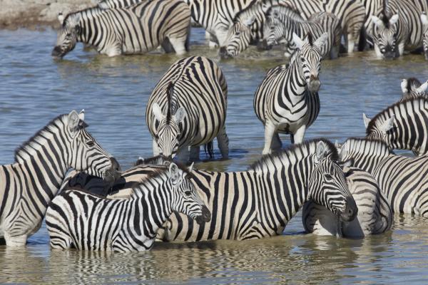 burchells zebra equus quagga burchellii standing