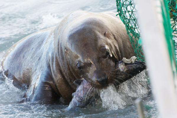 sea lion steals a silver salmon