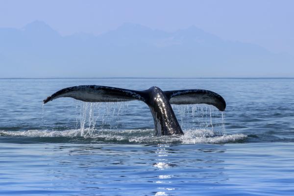 a humpback whale megaptera novaeangliae