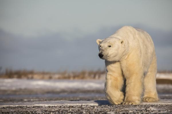 polar bear along the coast of