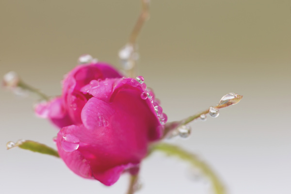 close up of a sitka rose
