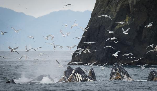 humpback whales megaptera novaeangliae